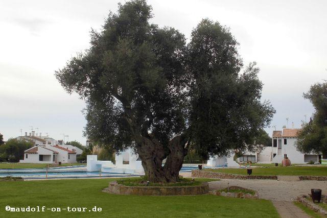 2015-12-08 Olivenbaum 2000 Jahre Pedras del Rei 01