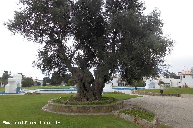 2015-12-08 Olivenbaum 2000 Jahre Pedras del Rei 02