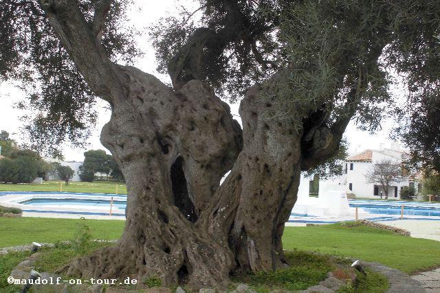 2015-12-08 Olivenbaum 2000 Jahre Pedras del Rei 03