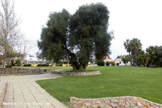 2015-12-08 Olivenbaum 2000 Jahre Pedras del Rei 04