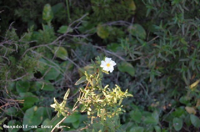 2017-01-15 Praia da Ingrina Blume 1