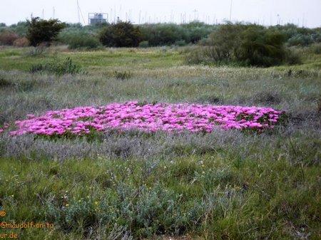 2018-04-20 Mazagon Blumen Düne