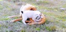 2018-11-29 Hirtenhund mit Welpen
