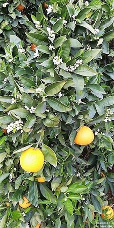 2019-03-06 Orangenbaum bluet