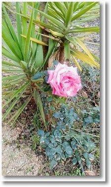 2020-01-03 Rose 1