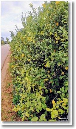 2020-01-03 Zitronen 1