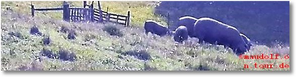 2020-02-19 Schwarze Schweine